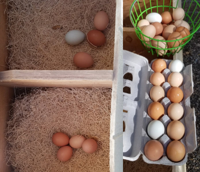 Pasture-raised chicken eggs at the Dog & Pony Ranch