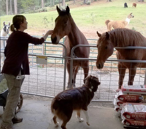 Nose-to-nose greetings with barn animals
